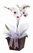 Phalaenopsis Orchidea kaspóban