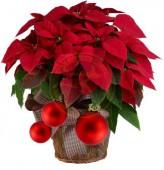 A piros Mikulásvirág